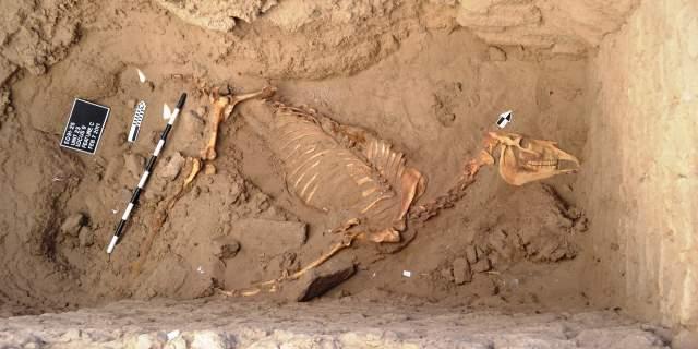 Restos descubiertos del caballo de Tombos (Foto: Purdue).