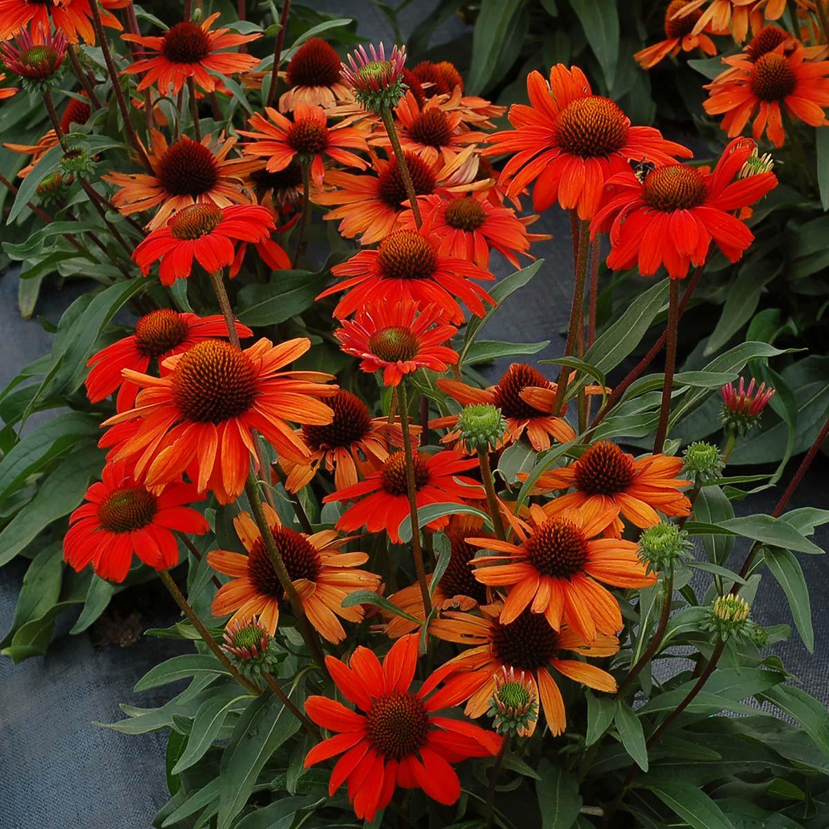 Echinacea KISMET Intense Orange  TERRA NOVA Nurseries Inc