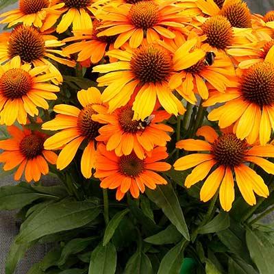 Echinacea PRIMA™ Saffron   TERRA NOVA® Nurseries, Inc.