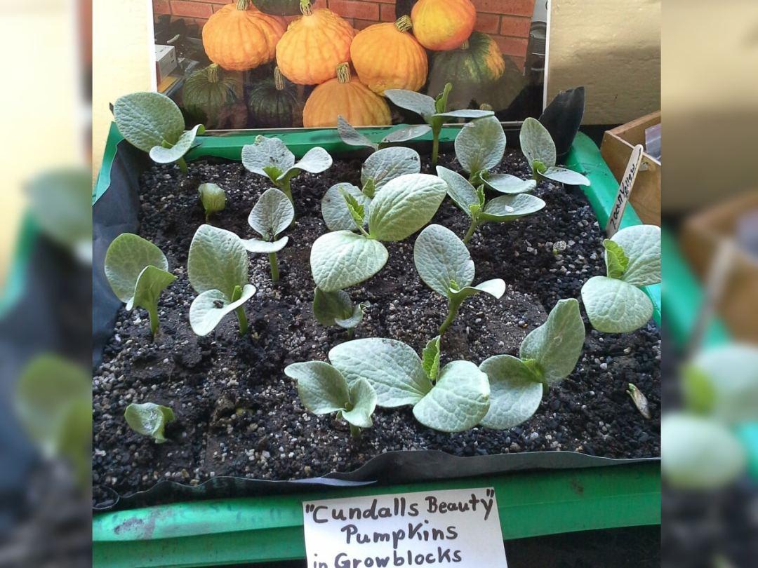 Cundalls Beauty Pumpkins in Grow Blocks_wide
