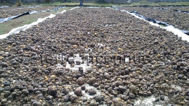 Séchage de la maca du Pérou