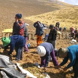 récolte de la maca sur les pentes du plateau de Junin