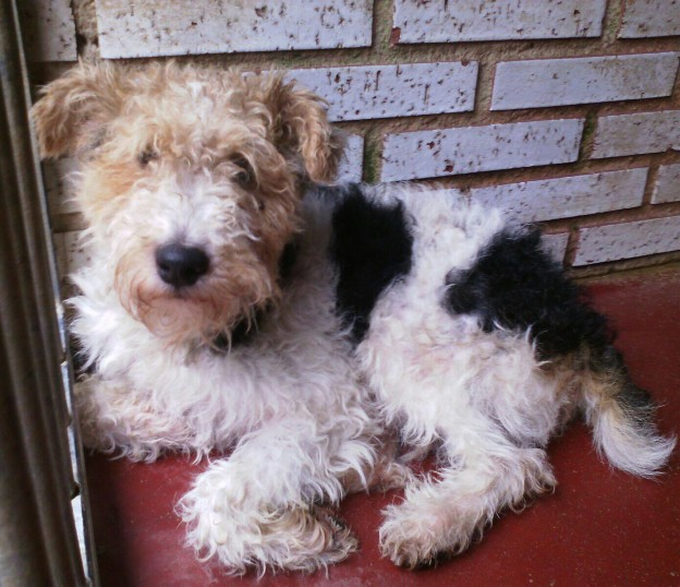 Adoption Terriers Yorkshire