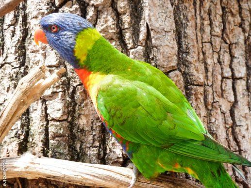 Les Glorieuses de Bresse - Lori arc en ciel Parc des oiseaux