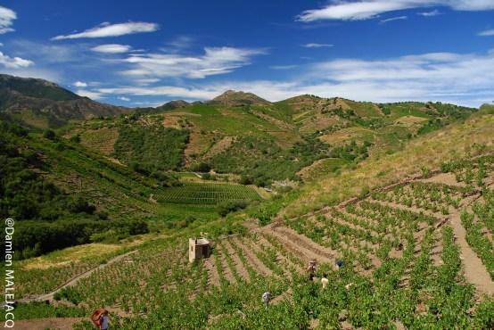 Cave des Terres Templiers - Vignes coteaux collioure banyuls