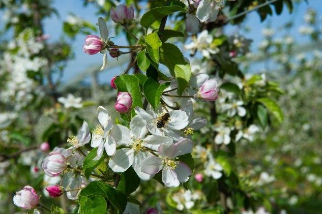 Pommes Golden du Limousin - Fleur pommier et abeille