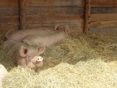 cochons-terroirevasion-com