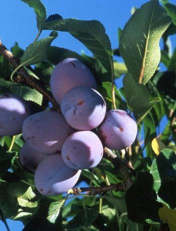 prunes-arbres-soleil-terroirevasion-com