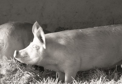 cochon jambon Rostain