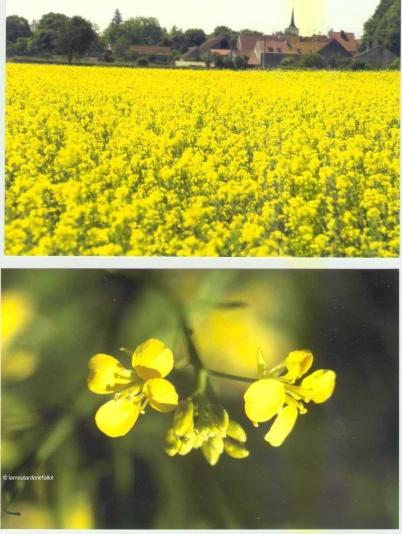 Fleurs de Moutarde fallot