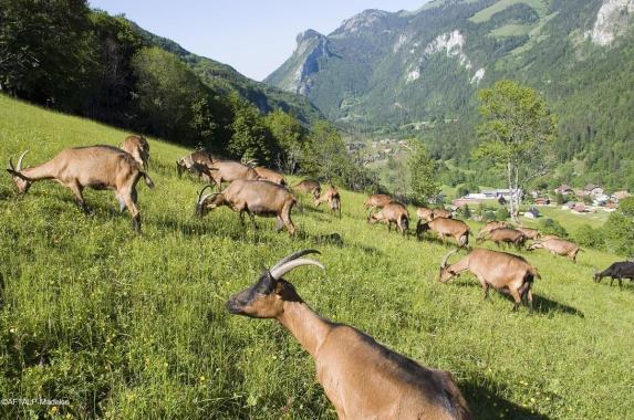 Chèvres du Petit Mont Savoie @AFTalp