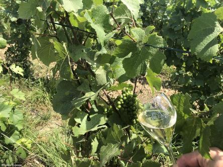 Champagne Piot Sevillano - Vigne et verre