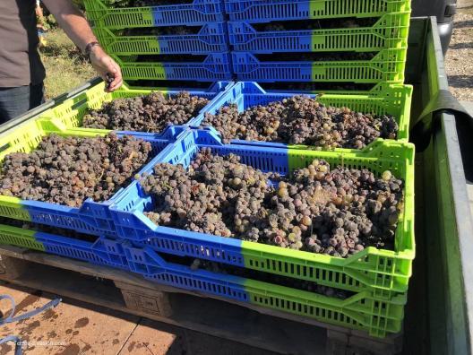 Vinsliquoreux de Bordeaux - Château Haut Bergeron - Vendanges