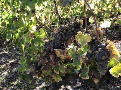 Liquoreux raisin botrytis_c2i