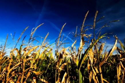 Corn in the sky