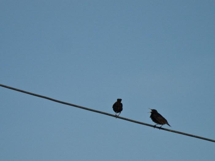 Domestic scene, Birds on a wire, Vama Veche, Romania