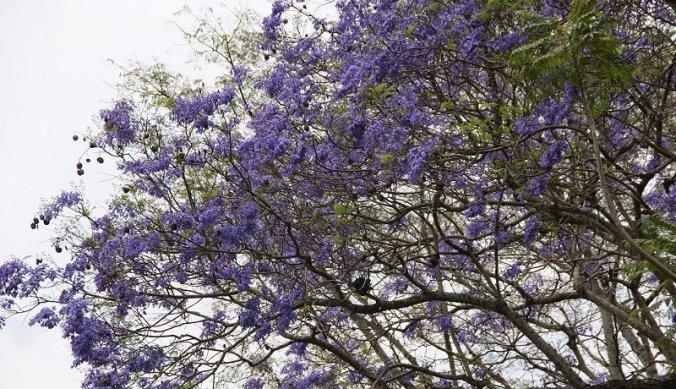 Jacaranda in bloei Arusha