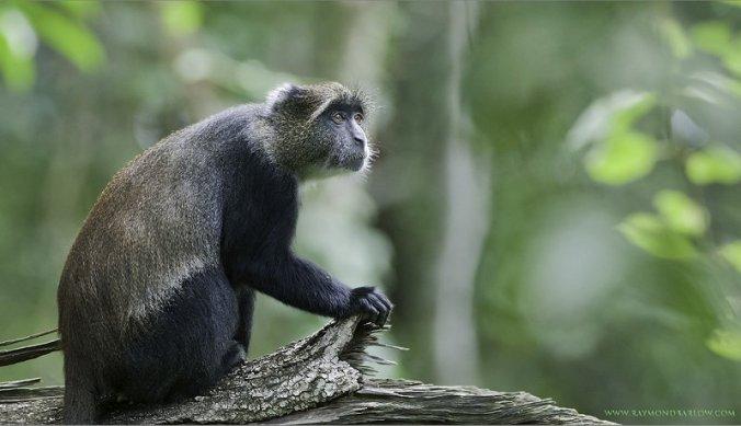 Blue Monkey by Raymond Barlow