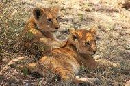 Leeuwenwelpjes in Ngorongoro Conservation Area