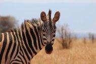 Zebra in Tarangire National Park