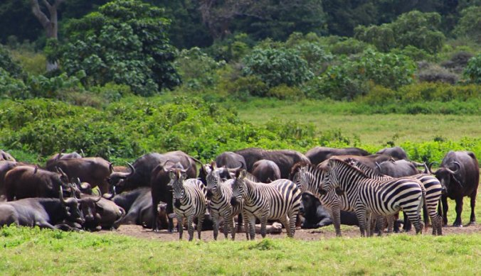Zebra's en buffels in Arusha National Park