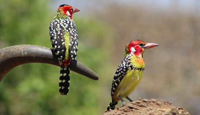 Red and Yellow Barber birds