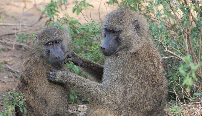 Familie bavianen in de speeltuin van Lake Manyara National Park