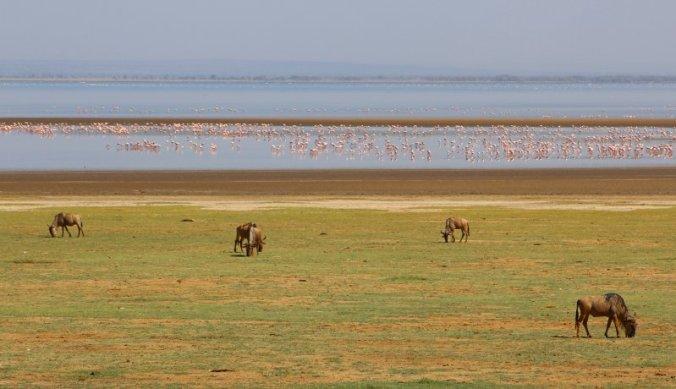 Gnoes grazend op de vlakte met op de achtergrond duizenden flamingo's