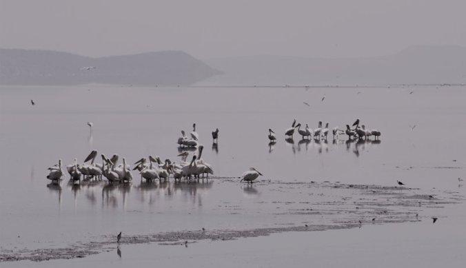 Op het meer wemelde het van de pelikanen