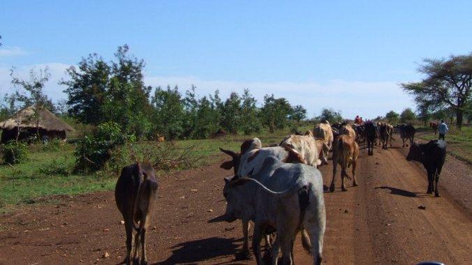 Voorrang verlenen aan koeien op de weg in Oeganda