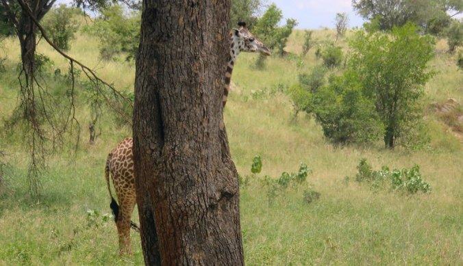 Giraf verstopt zich achter boom