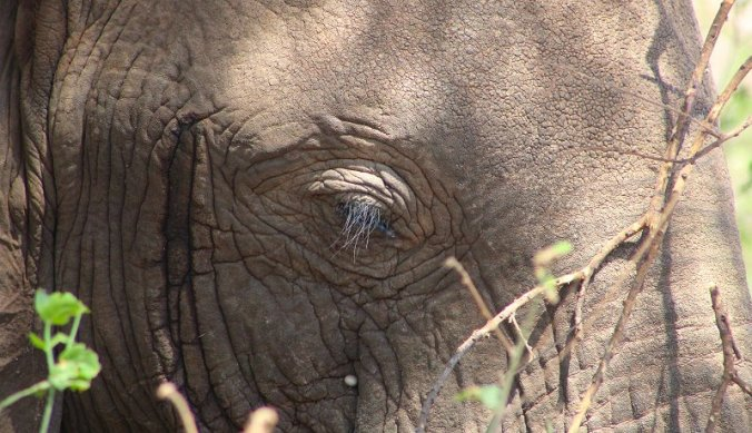 Olifant close up