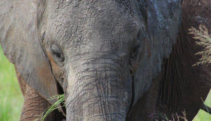 Olifanten met uitsterven bedreigd