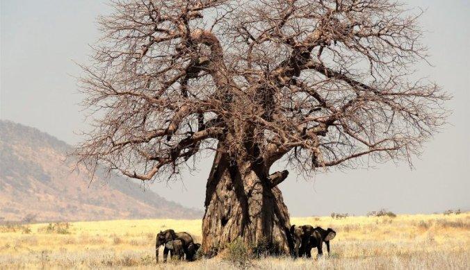 Olifantenfamilie achter baobab boom