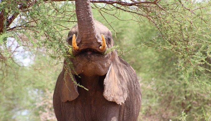 Olifant reikt hoog in boom in Tarangire National Park