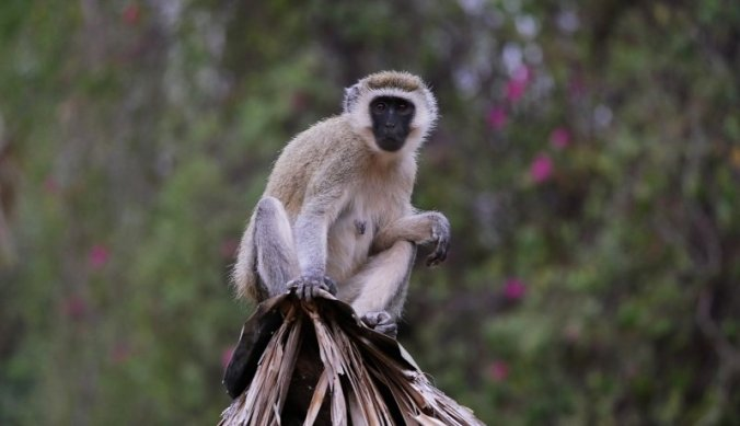 Vervet Monkey langs de weg in Arusha