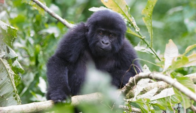 Baby berggorilla in Bwindi Forest National Park