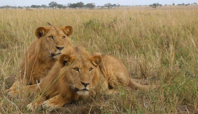 Leeuwen argwanend in Kidepo Valley National Park