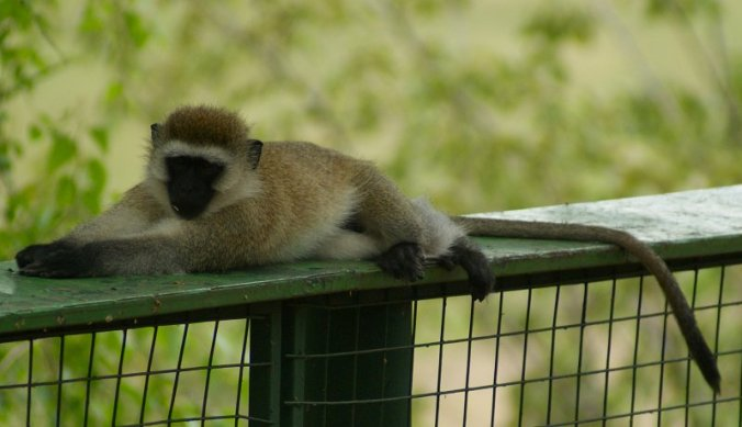 Vervet monkey op de loer in Tarangire National Park