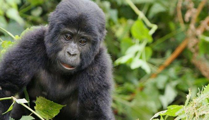 Speelse baby gorilla bij bezoek aan de berggorilla's