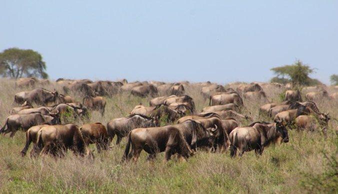 Vlaktes vol met gnoes en zebra's, de migratie achterna