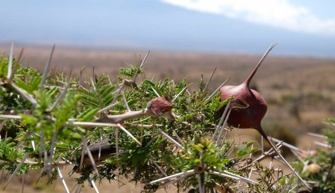 Medicinale planten Maasai in Tanzania
