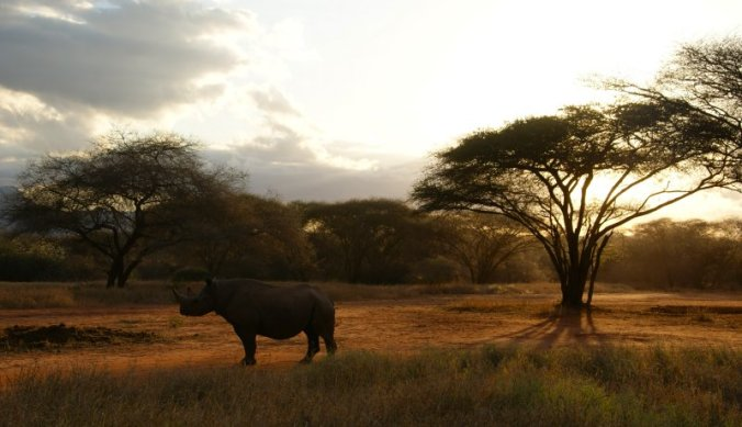 Zwarte neushoorn in Mkomazi National Park