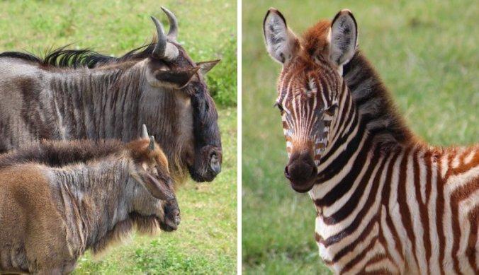 Baby gnoe en zebra in de Ngorongoro krater