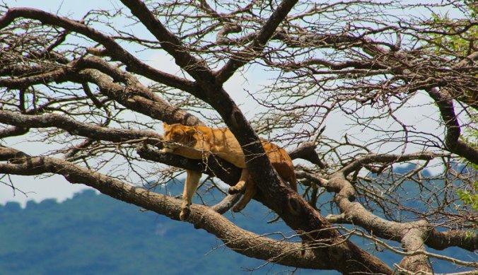 Boomklimmende leeuwen in de Ngorongoro krater