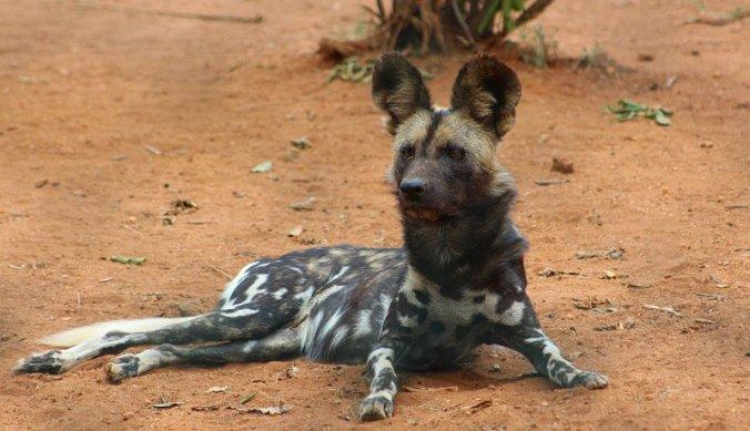 Beschermen van wilde honden in Mkomazi National Park