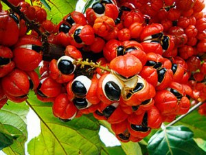 Suplemen Guarana