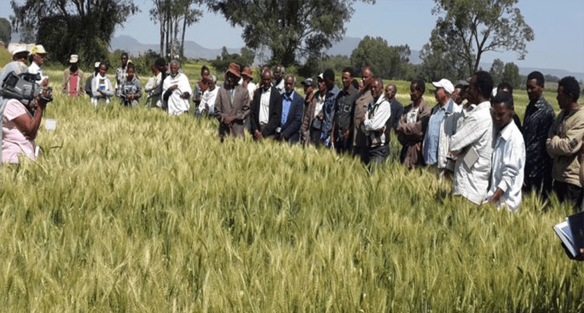 Eritrea: Ongoing Research Produces Six High Yield Wheat Varieties