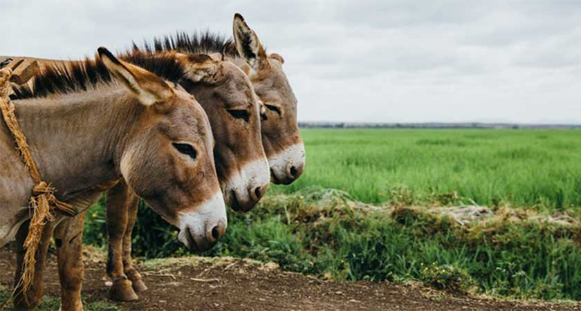 Chinese Donkey Abattoir Petitions PM's Office