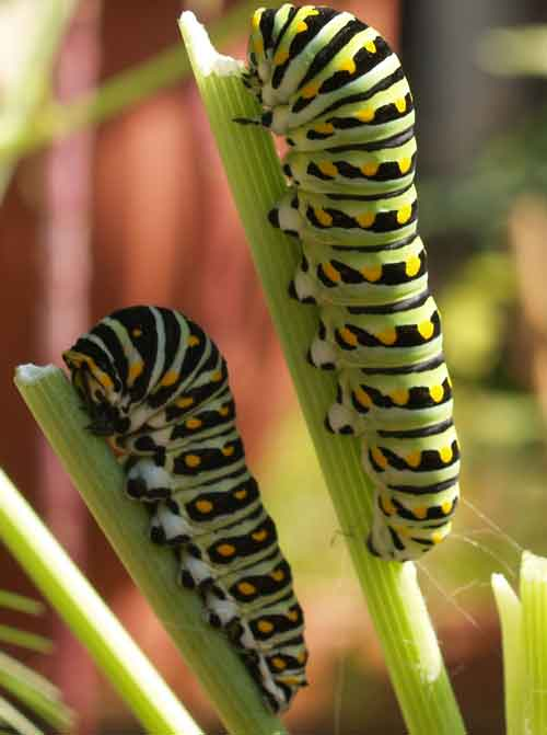 Black Swallowtail caterpillars from Wikipedia
